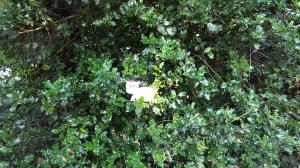 Image of Harris the little grey hippo as 'Flat Harris' out and about on an adventure in a holly bush at Upton Country Park, Dorset- Deck the halls with boughs of Harris